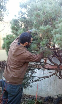 Tree and Shrub Pruning, In Harmony Sustainable Landscapes