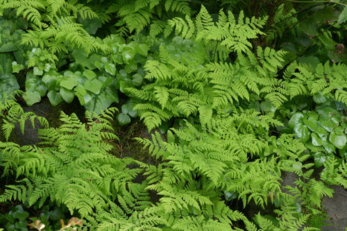 Five native ferns for the shade garden