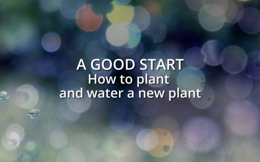 A good start: How to plant and water a new plant