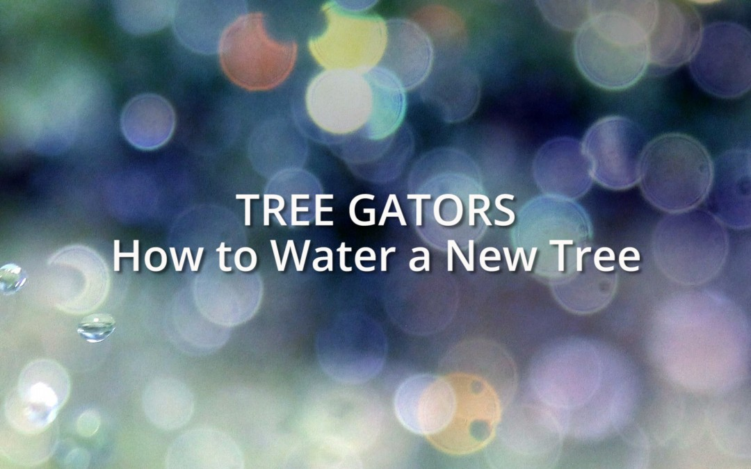 Tree Gators: How to water a new tree