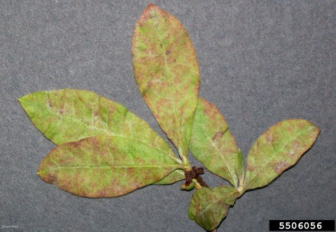 Powdery mildew on rhododendron