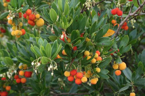 Strawberry tree: shrub with four-season interest