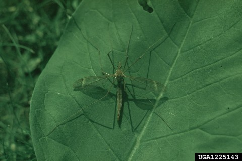 Adult crane fly