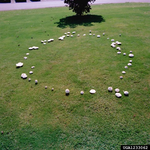 Fairy ring, Clemson University - USDA Cooperative Extension Slide Series, Bugwood.org