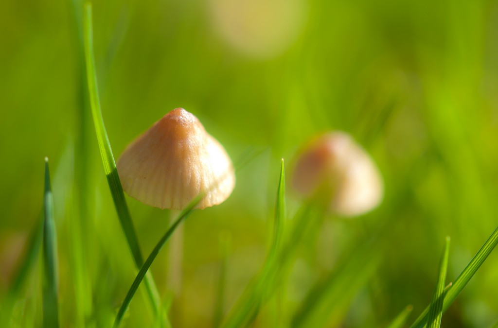 Mushrooms in your lawn?