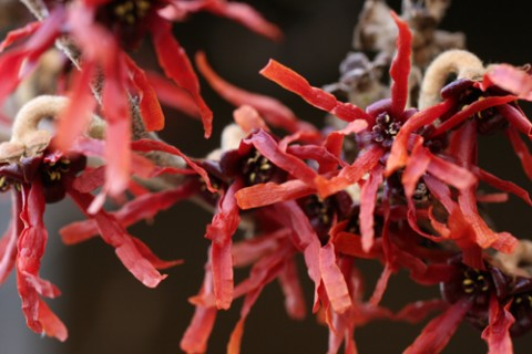 Hamamelis x intermedia 'Diane.' Great Plant Picks photo.