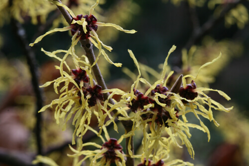 For fall and winter color, plant witch hazel