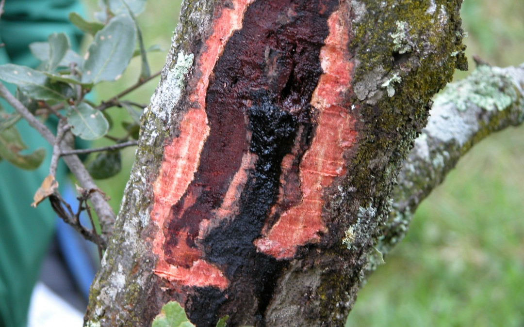Phytophthora root rot: silent killer