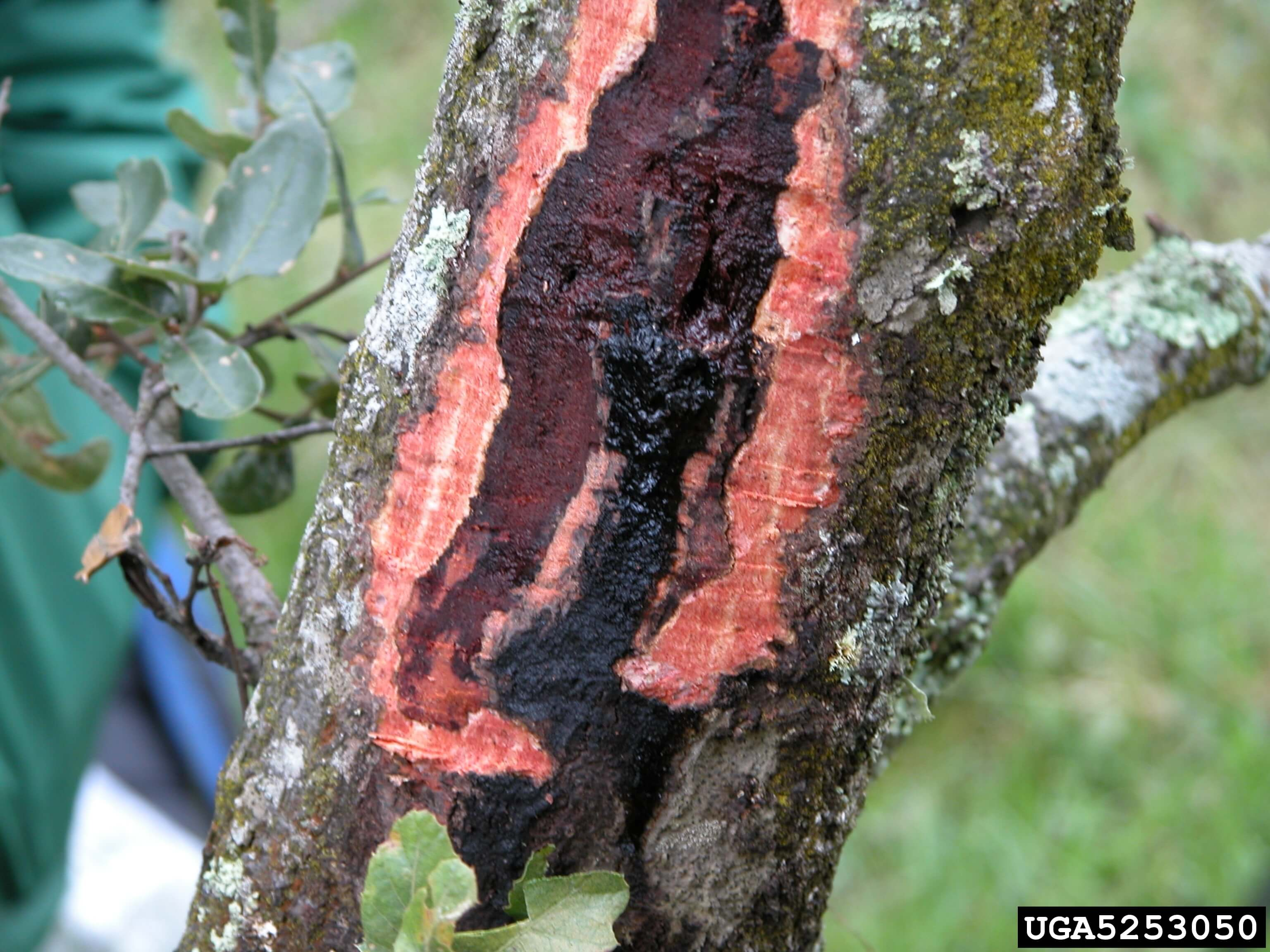 Phytophthora Root Rot Silent Killer In Harmony