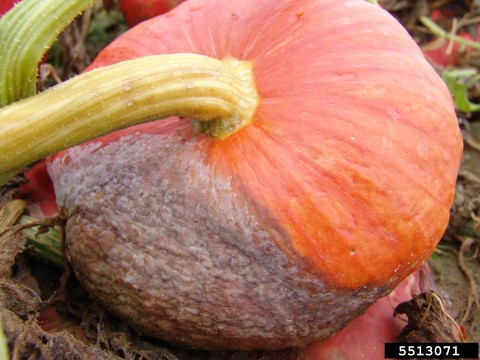 Phytophthera root rot in pumpkin. G. J. Holmes, Bugwood.org.