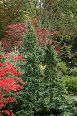 Small evergreens add texture to your landscape in for Small slow growing evergreen trees