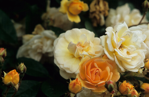 You can grow beautiful roses in western Washington if you choose disease-resistant varieties and take steps to keep them healthy.