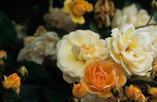 Choosing and growing roses in western Washington