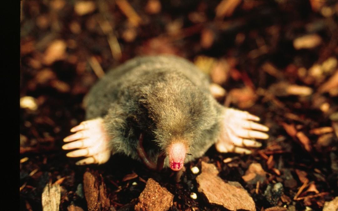Managing moles in your yard
