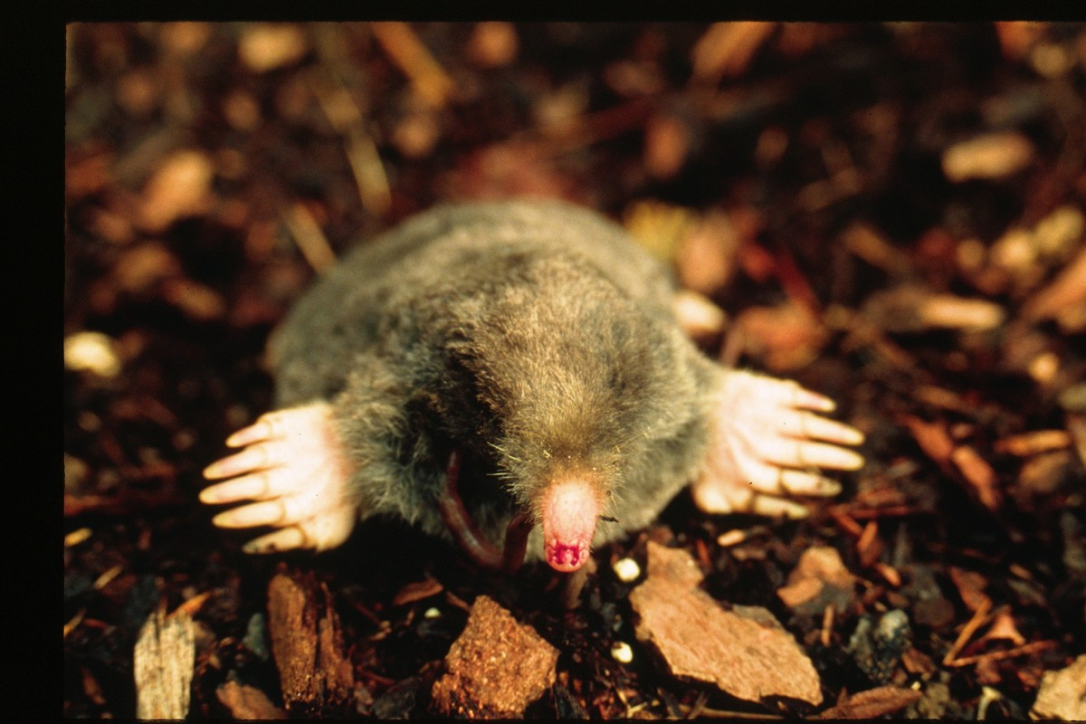 How to trap moles in your yard - Coast Mole Pacific Northwest Power And Conservation Council Photo