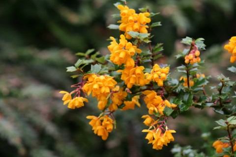 Darwin's barberry (Berberis darwinii) is one of many flowering plants that attract bees and other pollinators. Photo: Richie Steffen, Great Plant Picks.