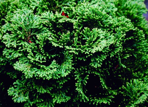 dwarf Hinoki cypress, Chamaecyparis obtusa 'Nana'