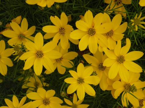 Threadleaf coreopsis (Coreopsis verticillata 'Zagreb'). Photo: Rick Peterson, Great Plant Picks.