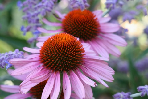 Purple coneflower (Echinacea purpurea 'Bravado'). Photo: Richie Steffen, Great Plant Picks.