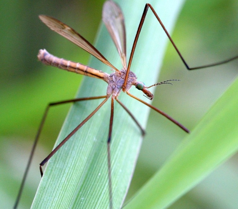 Managing crane flies