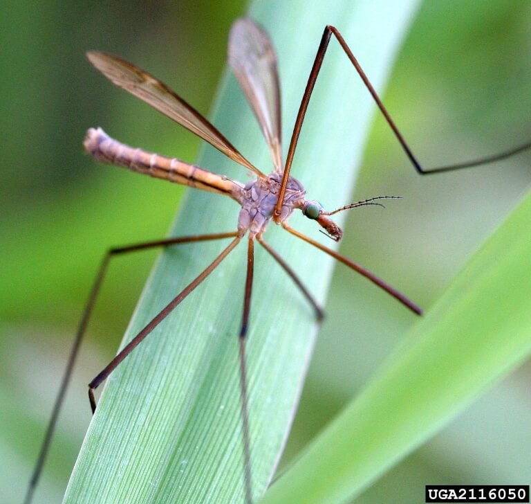 Managing Crane Flies In Harmony Sustainable Landscapes