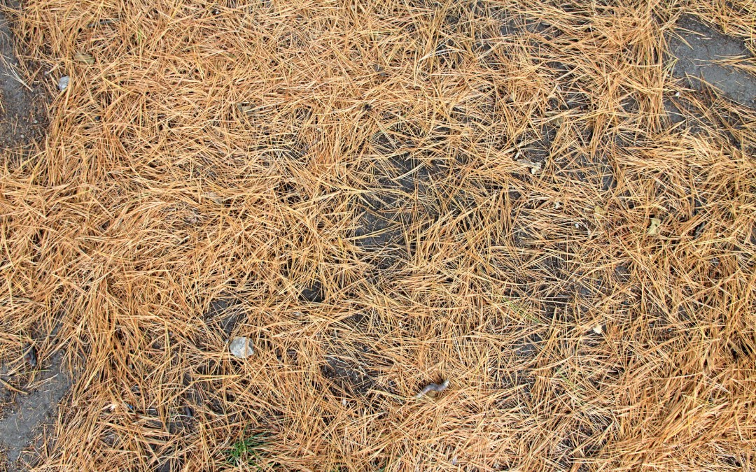 Are your evergreens losing needles?