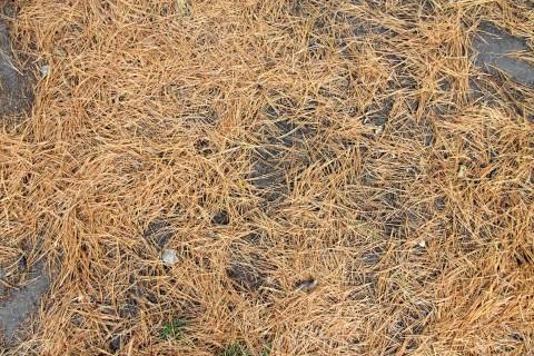 Brown evergreen needles