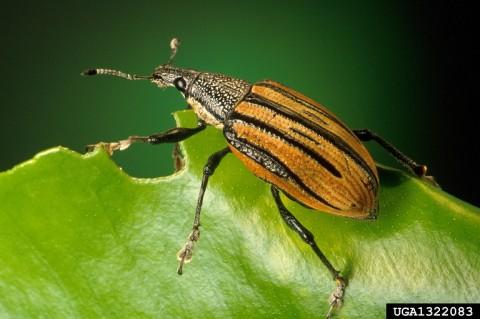 Adult root weevil