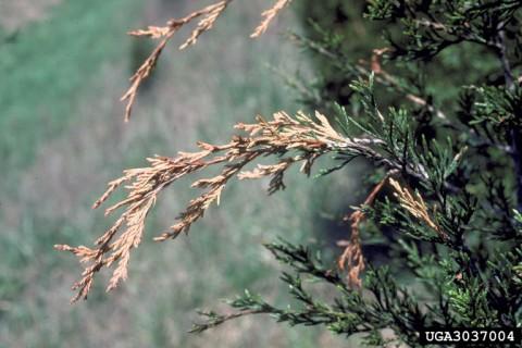 Phomopsis blight. Photo: Robert L. Anderson, USDA Forest Service, Bugwood.org.