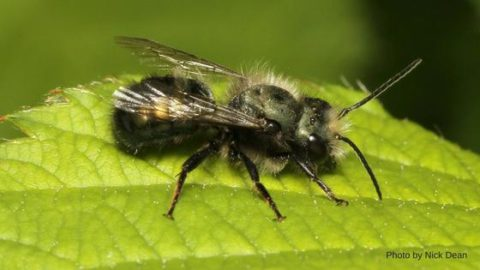 Small, gentle mason bees are prolific pollinators. In Harmony Sustainable Landscapes