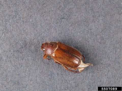 European chafer adult. In Harmony Sustainable Landscapes.