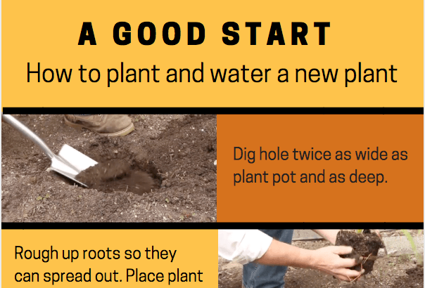 Give your plant a good start: how to plant and water it