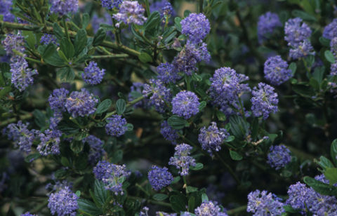 Plant ceanothus to attract butterflies and other pollinators. 'Victoria' is a variety that does well in our area. © Richie Steffen / Great Plant Picks. In Harmony Sustainable Landscapes.