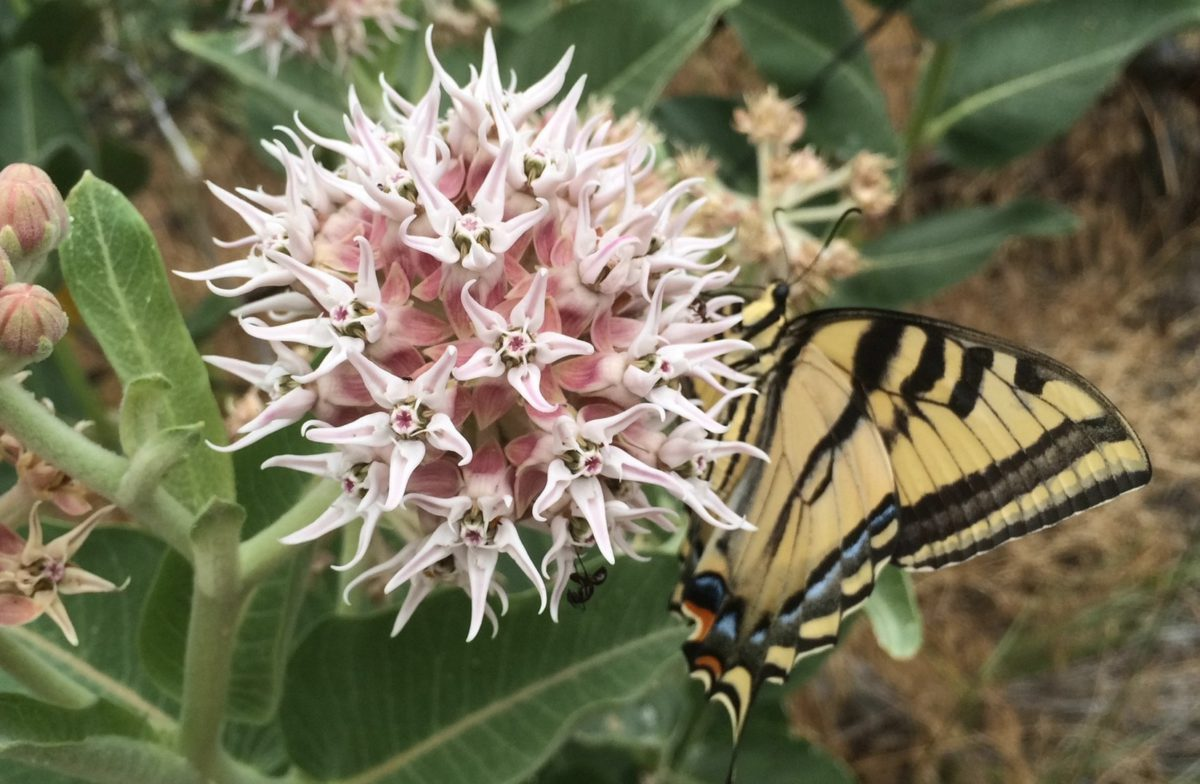 Help monarch butterflies by growing showy milkweed, Asclepias speciosa. Photo: growmilkweedplants.com.