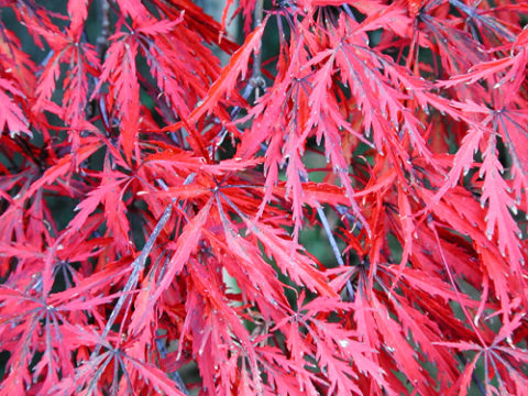 This red lace-leaf Japanese maple (Acer palmatum tamukeyama) holds its burgundy-red foliage color though the summer. In Harmony Sustainable Landscapes
