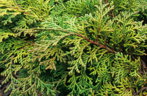 This dwarf hinoki cypress (Chamaecyparis obtusa 'Kosteri') is a beautiful conifer, loosely pyramidal. It grows to about four feet, making it a good choice for containers. In Harmony Sustainable Landscapes