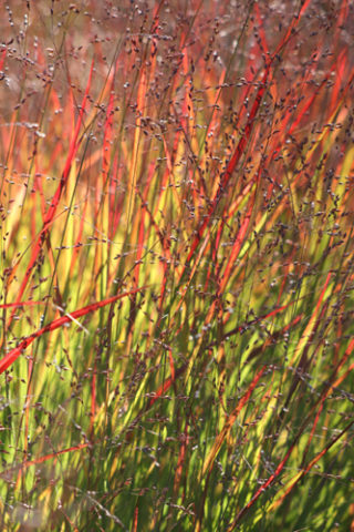 Switch grass 'Shenandoah' (Panicum virgatum 'Shenandoah') is a beautiful grass with red-toned foliage and a graceful habit. In Harmony Sustainable Landscapes