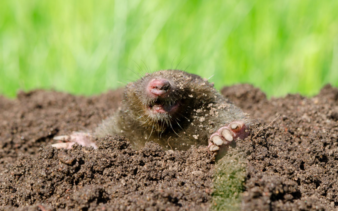Moles and lawn damage: what to do