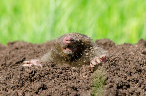 Moles can be the bane of your lawn. But moles are also signs that your yard is a thriving, healthy ecosystem. In Harmony Sustainable Landscapes