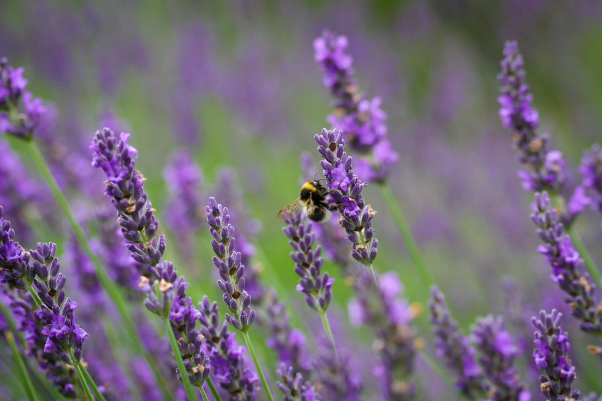 Bees and butterflies are attracted to many drought-tolerant plants such as lavender. Derek Finch photo. In Harmony Sustainable Landscapes