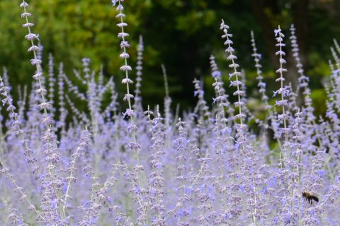 Russian sage (Perovskia atriplicifolia) is another good choice among drought-tolerant plants. Robert Lyle Bolton photo. In Harmony Sustainable Landscapes