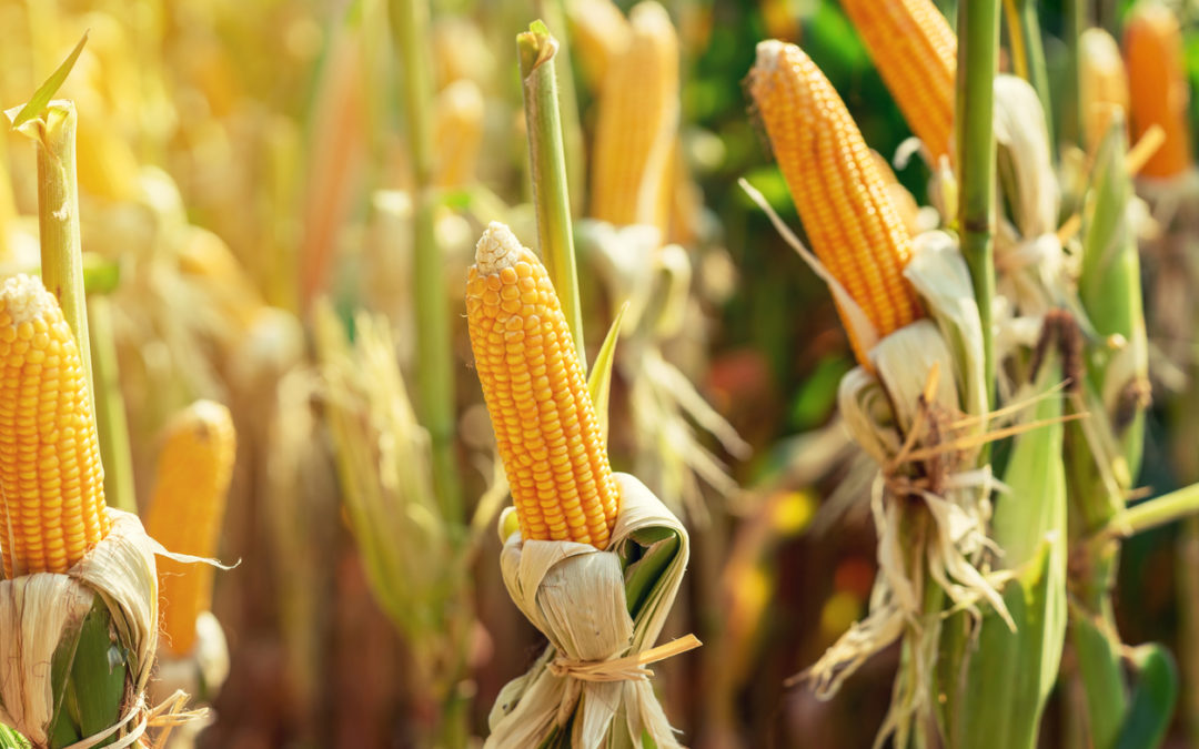 Corn gluten: natural food for drought-stressed lawns